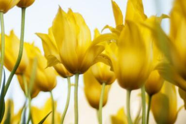 一文读懂郁金香的种植时间和方法 种好郁金香就这么简单